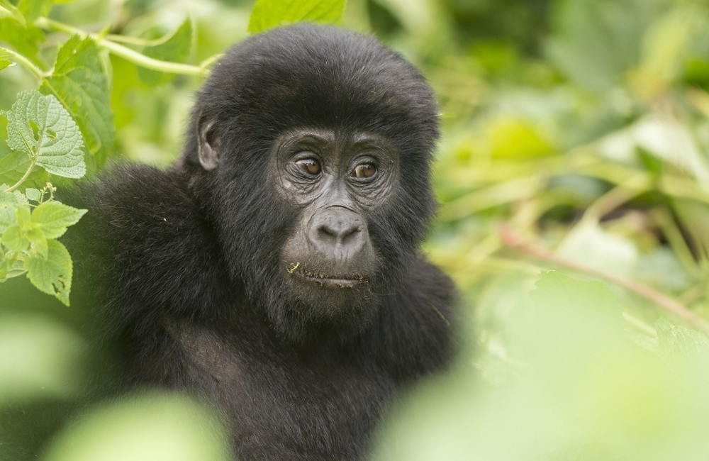Great Gorillas Of Uganda